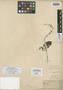 Salvia mazatlanensis Fernald, Mexico, W. G. Wright 1298, Isolectotype, F