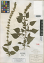 Salvia molina Fernald, Mexico, C. G. Pringle 8504, Isotype, F