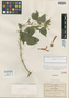 Salvia muralis Fernald, Mexico, C. G. Pringle 10072, Isotype, F