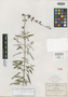 Salvia pannosa Fernald, Mexico, C. G. Pringle 8593, Isotype, F