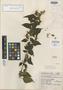 Salvia perblanda Epling, Mexico, G. B. Hinton 9946, Isotype, F