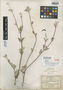 Salvia pexa Epling, MEXICO, C. Conzatti 2094, Holotype, F