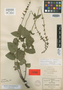 Salvia platyphylla Briq., Mexico, C. G. Pringle 2560, Isotype, F