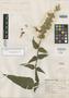 Salvia praestans Epling, Mexico, G. B. Hinton 11095, Isotype, F