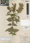 Salvia pringlei B. L. Rob. & Greenm., Mexico, C. G. Pringle 4564, Isotype, F