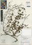 Salvia pseudomisella Moran & Levin, Mexico, R. V. Moran 29522, Isotype, F