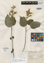 Salvia punicans Epling, Mexico, G. B. Hinton 11224, Isotype, F
