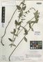 Salvia ramamoorthyana Espejo, MEXICO, J. L. Reveal 4106, Isotype, F