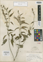Salvia sacculus Epling, Mexico, H. H. Bartlett 10785, Holotype, F