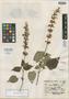 Salvia sapinea Epling, Mexico, G. B. Hinton 14798, Isotype, F