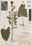 Salvia subhastata Epling, Mexico, E. Langlassé 570, Isotype, F