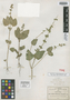Salvia tehuacana Fernald, Mexico, C. G. Pringle 8587, Isotype, F