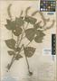 Salvia tiliifolia var. rhyacophila Fernald, Mexico, C. G. Pringle 8381, Isotype, F