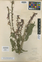 Salvia townsendia Fernald, Mexico, C. H. T. Townsend 426, Isotype, F