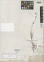 Salvia unicostata Fernald, MEXICO, C. C. Parry 760, Isotype, F
