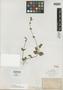 Salvia veronicaefolia A. Gray, Mexico, E. Palmer, Isotype, F