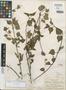 Salvia zacuapanensis Brand, MEXICO, C. A. Purpus 1932, Isotype, F