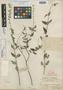 Salvia caymanensis Millsp., C. F. Millspaugh 1295, Holotype, F