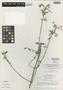 Salvia decumbens Alain, Dominican Republic, Bro. Alain H. Liogier 17932, Isotype, F