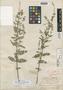 Salvia serotina var. sagittaefolia Millsp., C. F. Millspaugh 1391, Holotype, F
