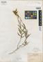 Salvia cochabambensis Rusby, Bolivia, M. Bang 1059, Isotype, F