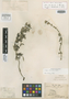 Salvia collina Kunth, PERU, A. J. A. Bonpland 3192, Isotype, F