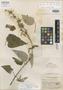 Salvia colombiana Epling, Colombia, E. P. Killip 18144, Isotype, F