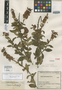 Salvia cuatrecasana Epling, Colombia, J. Cuatrecasas 10407, Isotype, F