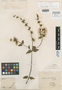 Salvia cuspidata Ruíz & Pav., PERU, J. Dombey s.n., Isotype, F