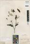Salvia discolor Kunth, PERU, A. J. A. Bonpland 3500, Isotype, F
