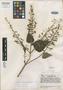 Salvia gracilipes Epling, Venezuela, J. A. Steyermark 56540, Isotype, F