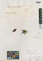 Salvia hilarii Benth., BRAZIL, A. F. C. P. de Saint-Hilaire C1, 1141, Isolectotype, F