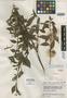 Salvia iuliana Epling, Venezuela, J. A. Steyermark 56450, Isotype, F