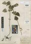 Salvia killipiana Epling, Colombia, E. P. Killip 15604, Isotype, F