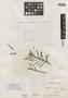 Salvia rosmarinoides A. St.-Hil. ex Benth., URUGUAY, A. F. C. P. de Saint-Hilaire 2640, Isolectotype, F