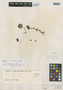 Salvia subrotunda A. St.-Hil. ex Benth., BRAZIL, A. F. C. P. de Saint-Hilaire B1, 1024, Isolectotype, F