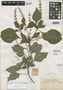 Salvia tenuistachya Rusby, COLOMBIA, Herb. H. Smith 1370, Isotype, F
