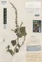 Salvia tovariensis Briq., VENEZUELA, A. Fendler 876, Isotype, F