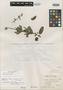 Salvia uruguayensis A. St.-Hil. ex Benth., Brazil, A. F. C. P. de Saint-Hilaire 2501, Isolectotype, F