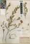 Scutellaria sintensis Hausskn., ARMENIA, H. C.  Haussknecht 2641, Isotype, F