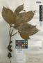 Litsea conferta Merr., PHILIPPINES, M. Ramos 23348, Isotype, F