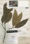Litsea stickmanii Merr., INDONESIA, C. B. Robinson 471, Isotype, F