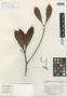 Mezilaurus palcazuensis van der Werff, PERU, G. S. Hartshorn 2691, Isotype, F