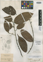 Nectandra rhynchophylla Meisn., BRITISH GUIANA [Guyana], Schomburgk 974, Isotype, F