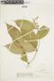 Miconia gracilis Triana, COLOMBIA, F