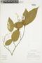 Miconia gracilis Triana, ECUADOR, F