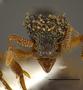 FMNHINS105082 Eurhopalothrix guadeloupensis PT H