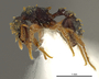 FMNHINS105082 Eurhopalothrix guadeloupensis PT P