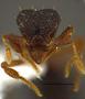 FMNHINS105083 Eurhopalothrix mabuya PT H