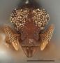 FMNHINS105086 Eurhopalothrix semicapillum H